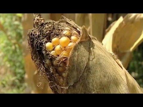 اتفاق مبدئي اوروبي للسماح بالزراعات المعدلة جينيا اعتبارا من منتصف العام المقبل 2015