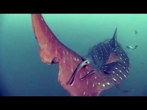 ジンベエザメの雄大な映像