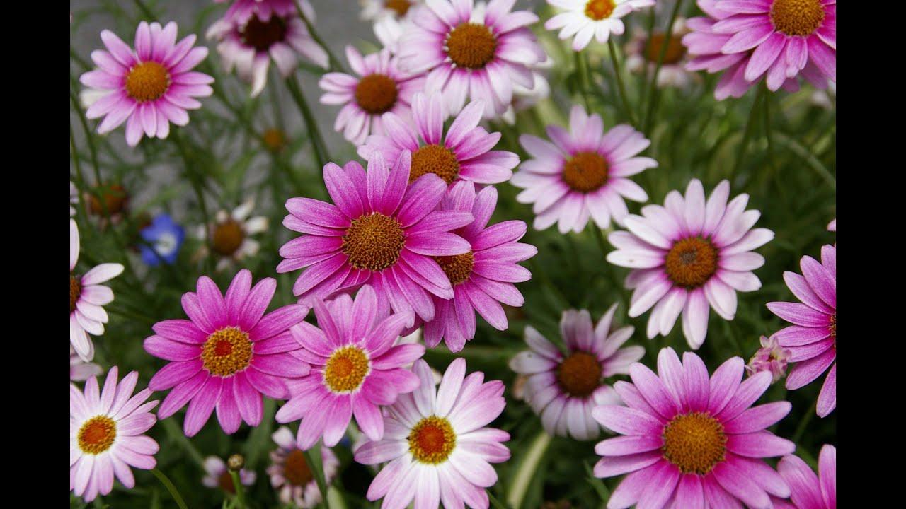 Большие ромашки цветы название и фото