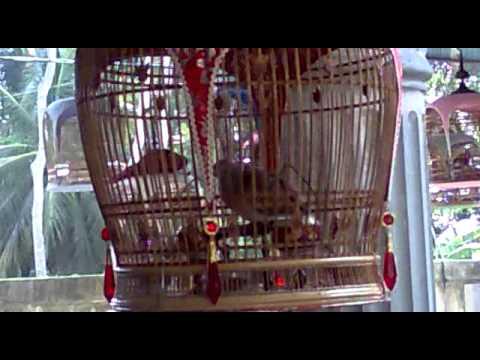 นกเขาชวาน้องของจิงโจ้