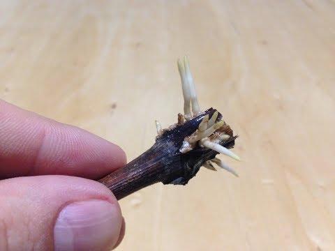 Как укоренить черенок винограда / Выращивание саженцев из черенков винограда