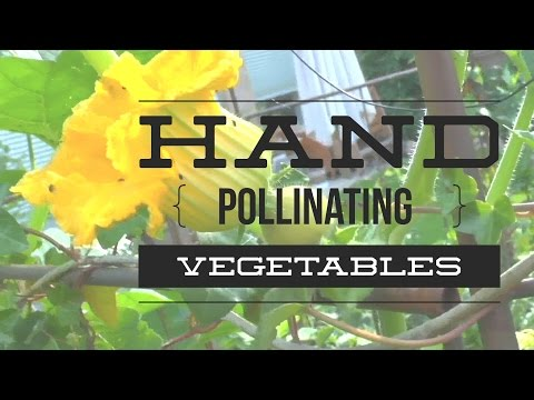 Squash, Pumpkins & Zucchinis: How to Pollinating your garden