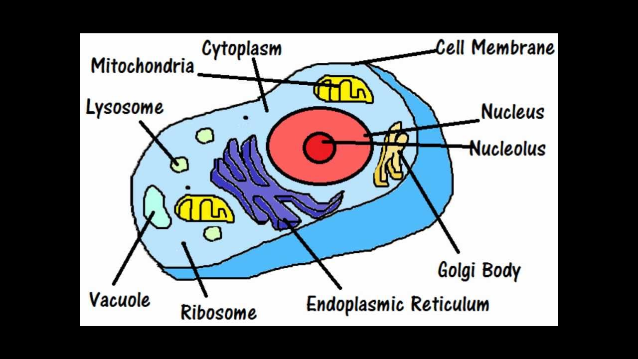 Parts Of A Cell And Their Functions