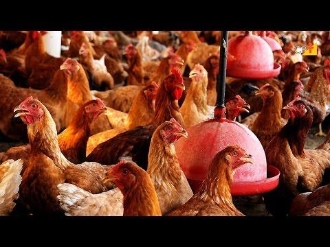 Avicultura - Curso a Distância Como Tornar seu Sítio Lucrativo
