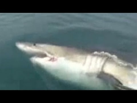 Great white shark swims up to fishermen