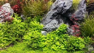 """How To Grow : Dwarf Baby Tears """" Hemianthus callitrichoides 'Cuba' """""""