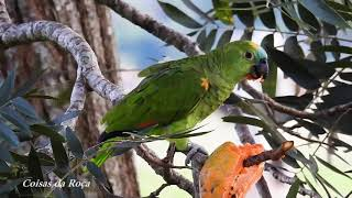 Parrot eating papaya, aestiva Amazon, Blue-fronted Parrot, Parrots, Country Life,