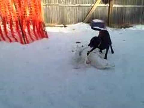 Bull Terrier Puppies Playing in the Snow