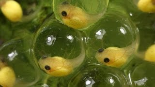 Escape Hatch: The Tough Choices of Treefrog Embryos