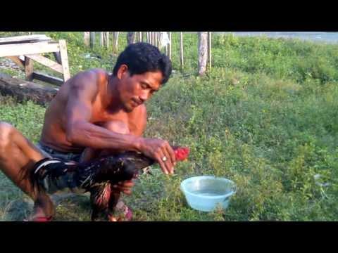 Melatih Ayam Bangkok Muda Untuk Jd Petarung Handal video