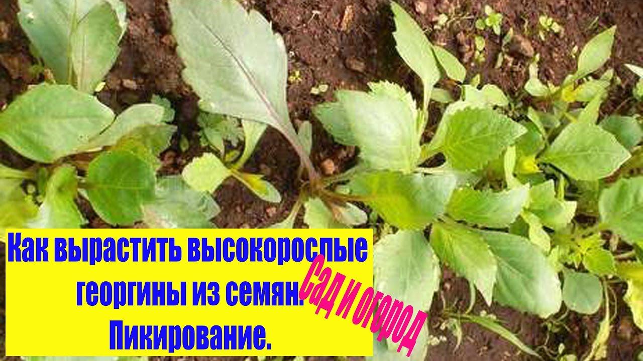 Выращивание георгинов из семян 633