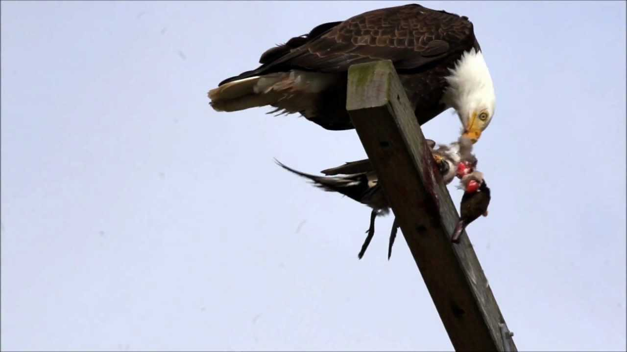 Bald Eagle Eating Duck Bald Eagle Eating Bird Wmv