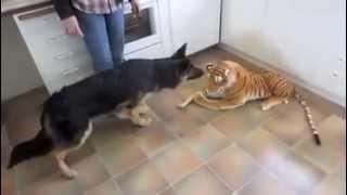 Chết cười khi xem chú chó Béc giê Đức nhìn thấy con hổ trong nhà