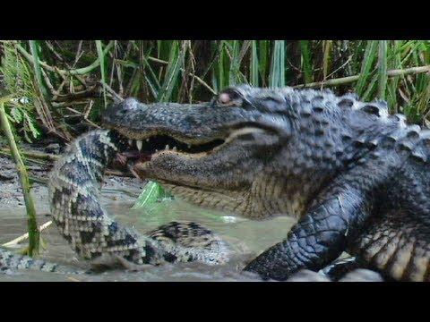 Florida's Venomous Snakes