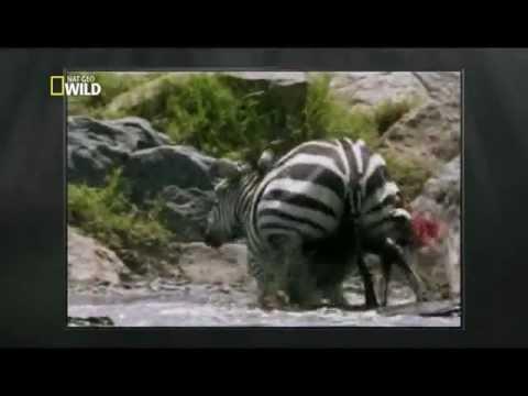 Predadores em ação - Crocodilo
