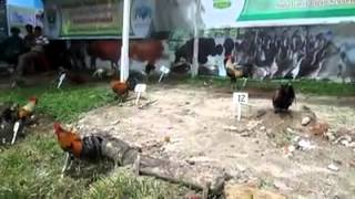 Kontes Ayam Kokok Balenggek (AKB)
