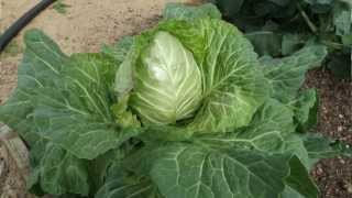 Fall Garden and Hydroponic Cabbage Update