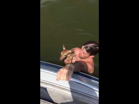 小さな鹿が湖で溺れかかっている所を助ける救助映像