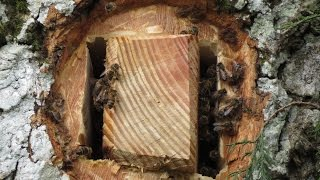 A  Hive for the Honeybee in the Heart of a Tree - Celebrating Britain