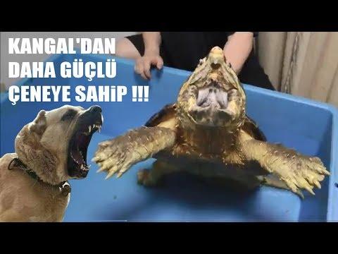 Kangal'dan Daha Güçlü Çeneye Sahip !! ( En Güçlü Çeneye Sahip 7. Hayvan ) Alligator Snapping Turtle