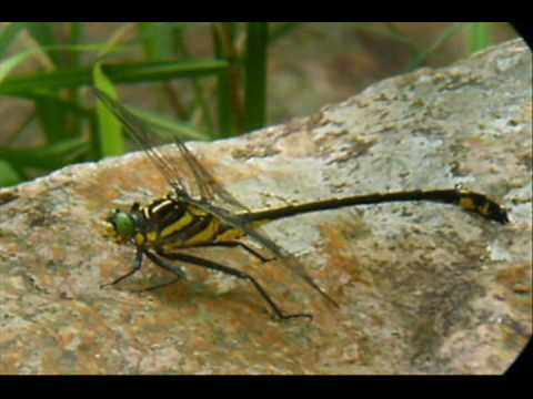 Dragonflies and Damselflies at Hawn State Park-Pickle Creek Trail