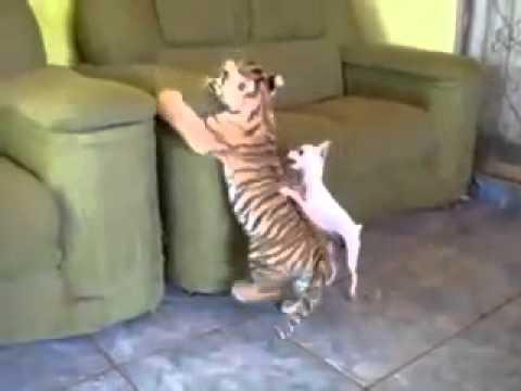 Тигренок играет с собачкой / Tiger plays with dog