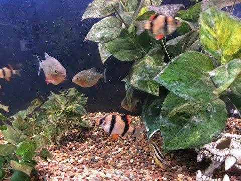 Piranha Living with Aggressive Tiger Barbs.  2017