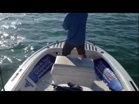 hammerhead attacks tarpon and rams boat!