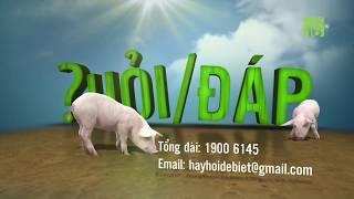 Dấu hiệu nhận biết lợn bị nhiễm dịch tả Châu Phi | Hỏi đáp trong ngày 25/06/2019 | VTC16