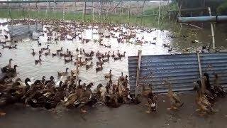 হাঁসের খামার ও হাঁসের খামার তৈরী (পর্ব-১) । Duck Farming in Dhaka