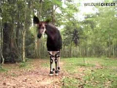 Okapi, Okapi Wildlife Reserve, Congo