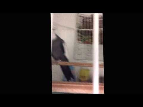 Bianca Apresentando A Calopsita Theodoro Cantando O Hino Do São Paulo video