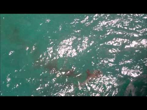 Juno Beach Fishing Pier Barracuda eats Bonita