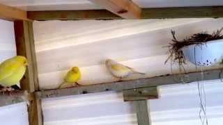 My canary aviary (breeding) eggs are here