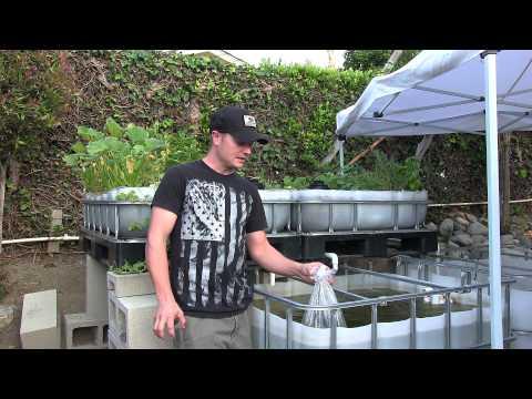 Aquaponics BackYard System - Introduce Fish Part3