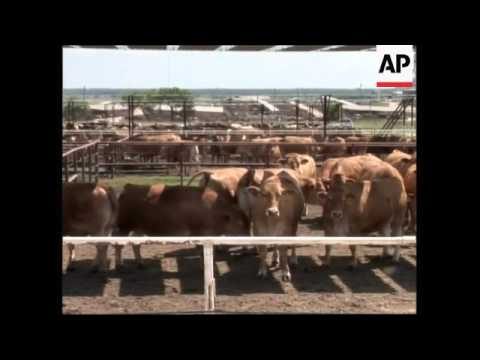 Japanese cattle raised in the US for their prized steaks