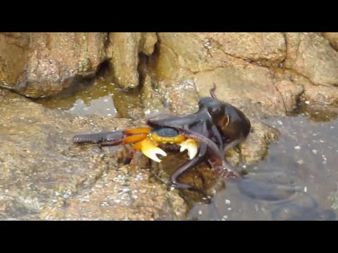Octopus Eats Crab Out of Water an Octopus Eating a Crab