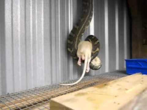 A huge, wild, 3 metre Qld Coastal Carpet Python eats large rat