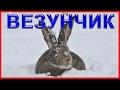 ВЕЗУНЧИК! Охота на зайца зимой. Тропление зайца по следам 2016-2017. ИЖ-12. Hare hunting