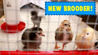Chick Update! The Girls Get a Bigger Home!