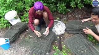 Lội rừng bẩy BA Khía/catch crab in vietnam