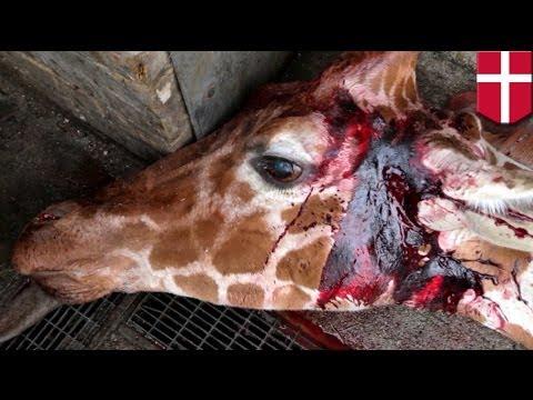 WARNING: GRAPHIC. Danish zoo, pinatay at pinakain sa leon ang kawawang giraffe!