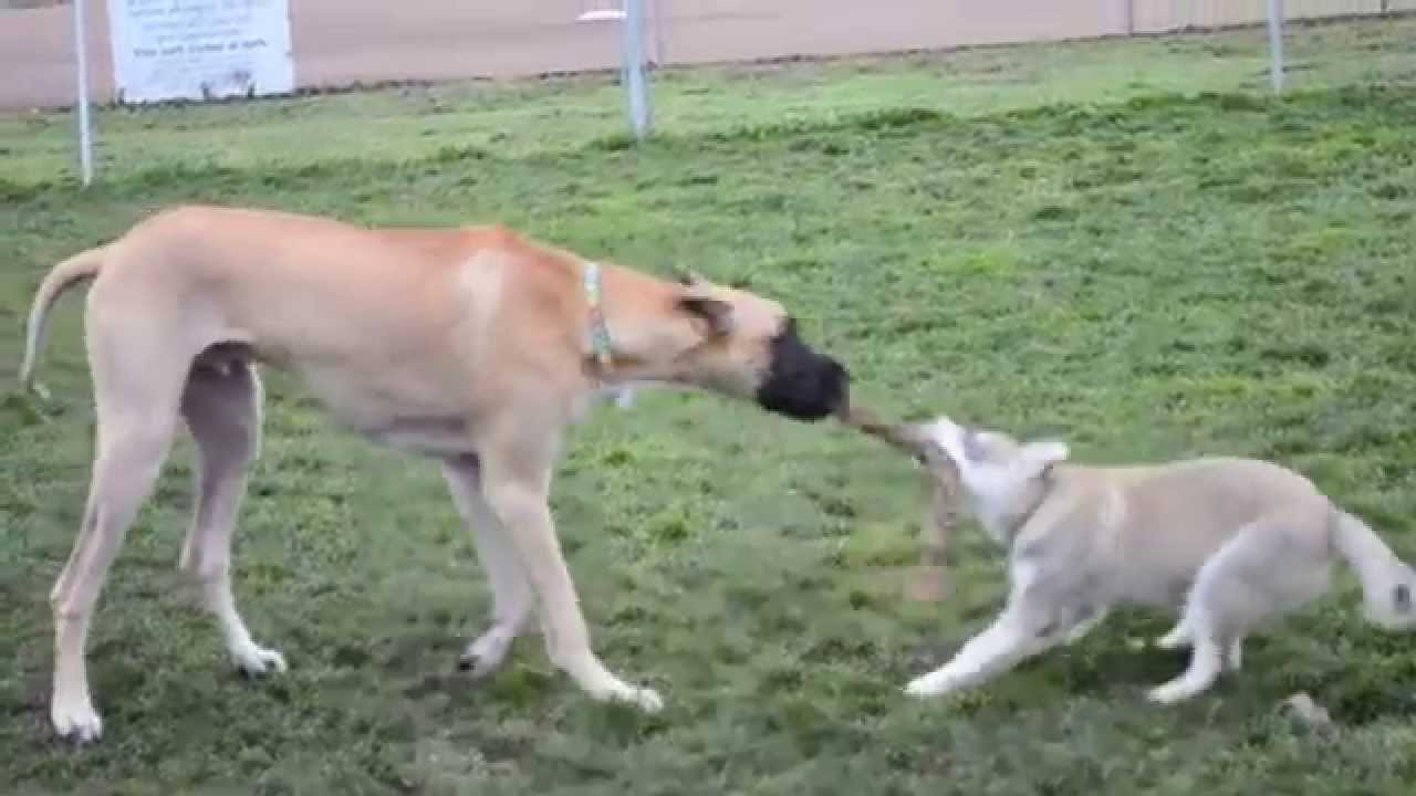 Great Dane vs. Husky Puppy - YouTube
