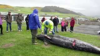 Whale washed up on beach in Wales 2012