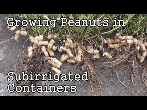 Growing Peanuts in Self-Watering. SIP. Sub-irrigated Containers or Pots