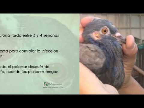 Cap. 1 - La viruela - Difteria en palomas. MisPalomos.com