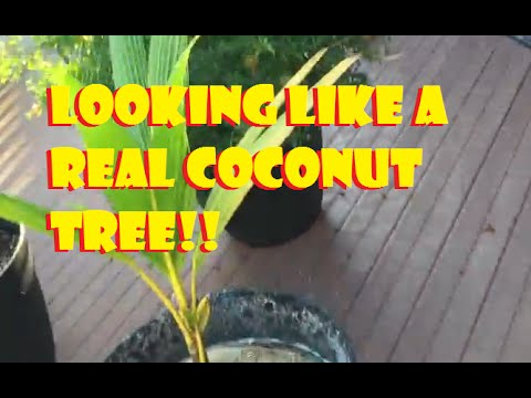 Tropical Plant 2015 Daily UPDATES: (LOOKING LIKE A REAL COCONUT TREE!!) Day 93
