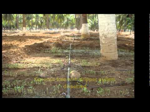 Irrigation management in Coconut