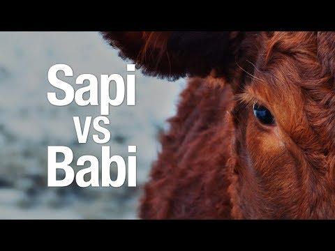 Ceramah Singkat: Sapi VS Babi - Ustadz Ahmad Zainuddin, Lc.
