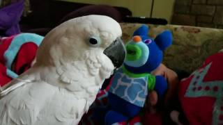 20170429 Mr Darcy Cockatoo plays with ThingAmaJig toy